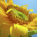 Yellow Sunflower Blue Sky Art Prints Baslee Troutman by Baslee Troutman