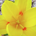 Yellow Tulip Flower Spring Flowers Floral Art Prints by Baslee Troutman