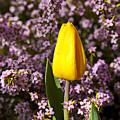 Yellow Tulip In The Garden by Garry Gay