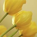 Yellow Tulip Trio by Bonnie Bruno