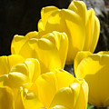 Yellow Tulips Floral Art Prints Nature Garden by Baslee Troutman