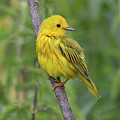 Yellow Warbler by Doris Potter