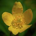 Yellow Wood Anemone 1 by Jouko Lehto