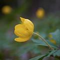 Yellow Wood Anemone 5 by Jouko Lehto