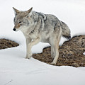 Yellowstone Coyote by Mary Haber