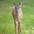 Yes Deer by Kenneth Albin