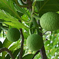 Young Breadfruit by Mary Deal