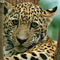 Young Jaguar by Sandy Keeton