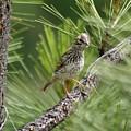 Young Lark Sparrow 3 by Ben Upham III