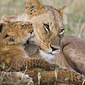 Young Lion Cub Nuzzling Mom by Suzi Eszterhas