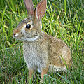 Young Rabbit by Sandi OReilly