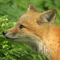 Young Red Fox In Profile by Doris Potter