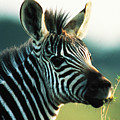Young Zebra by Carl Purcell