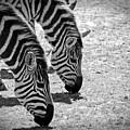 Zebra Beauty by Joann Mitchell