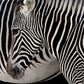 Zebra Head by Carlos Caetano