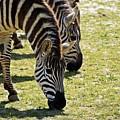 Zebras by Joann Mitchell