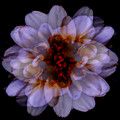 Zinnia On Black by Ruth Palmer