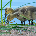 Canada Goose Goslings 7281-041519 by Tam Ryan