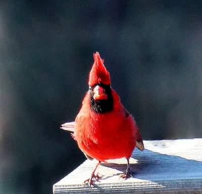 online contest cardinals illinois state bird