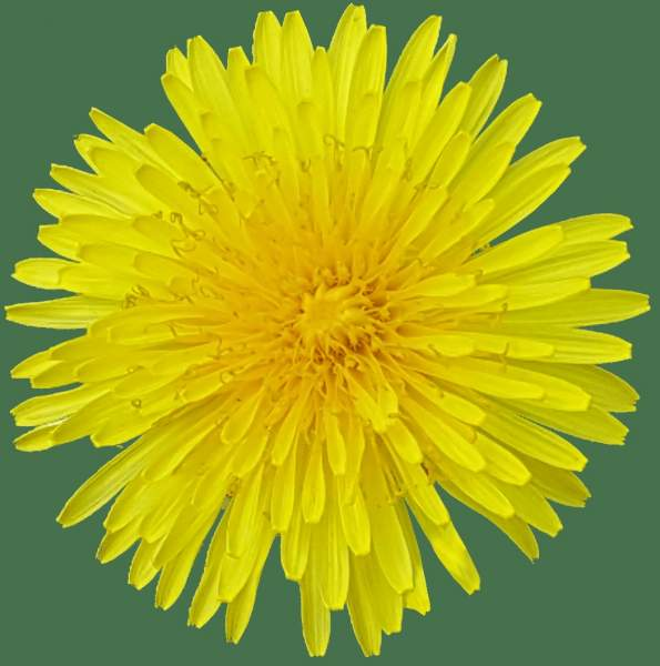 Now - The Yellow Dandelion Flower
