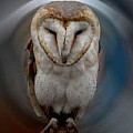 Eagle  Falcos Owl and Raven Photography and Paints