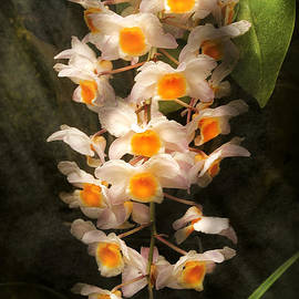 Mike Savad - Flower - Orchid - Dendrobium Orchid