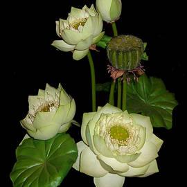 Merton Allen - White Lotus Blossoms