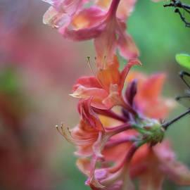 Azaleas Cluster of Flowers - Mike Reid