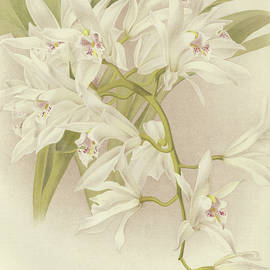 Boat Orchid  Cymbidium - English School