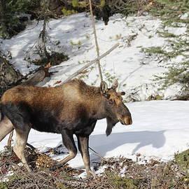 David Wilkinson - Bull Moose growing new antlers