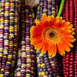 Daisy On Indian Corn - Garry Gay