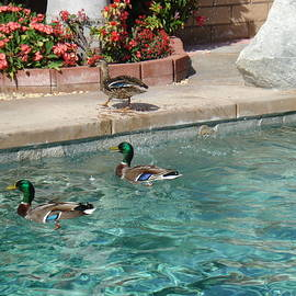 Linda De La Rosa - Ducks in the pool