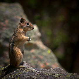 Christine Till - Golden Mantled Ground Squirrel Rocky Mountains Colorado