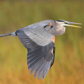 Bruce J Robinson - Great Blue Heron In Flight