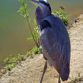 Mariola Bitner - Great Blue Heron