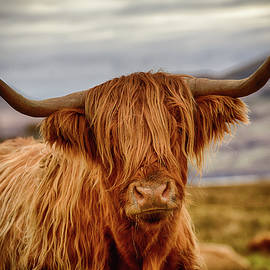 Peter OReilly - Highland Cow
