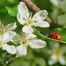 Jouko Lehto - Ladybird on a Mayday tree and some Aphids