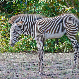 Judy Kay - The Zebra Foal Edition 2