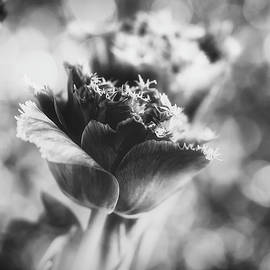 gabriela neumeier - tulip in black and white