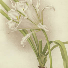 White Amaryllis   Ismene andreana - English School