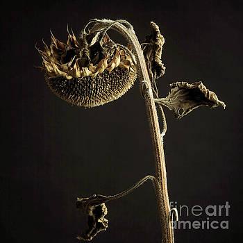 BERNARD JAUBERT - Sunflower