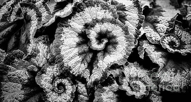 Simon Bratt Photography LRPS - Begonia leaves in black and white