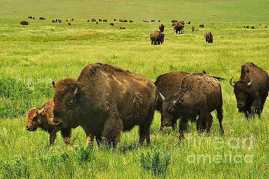 Charles Kozierok - Bison Herd on the Move