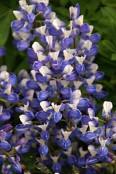Robert Lozen - BLUE WILDFLOWER 1