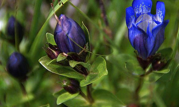 Robert Lozen - BLUE WILDFLOWER 4