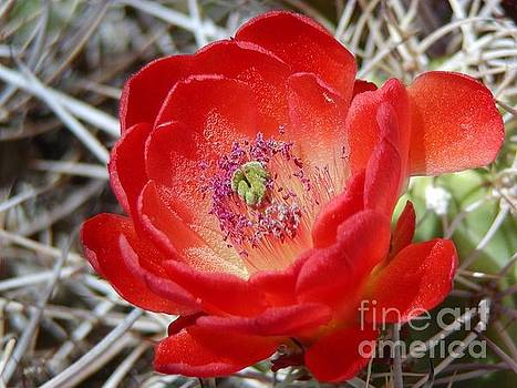 Christine Stack - Claret Cup Bloom