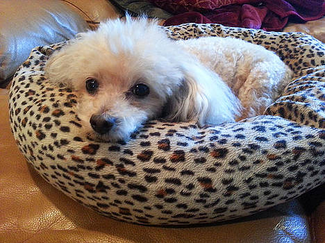Diana Haronis - Cute Little Poodle