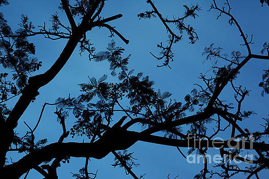 Charmian Vistaunet - Evening Branches