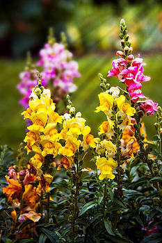 Mike Savad - Flower - Antirrhinum - Grace