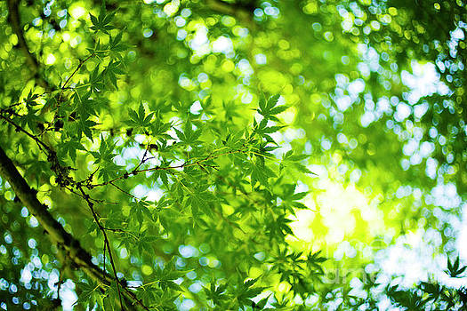 Charmian Vistaunet - Green Japanese Maple